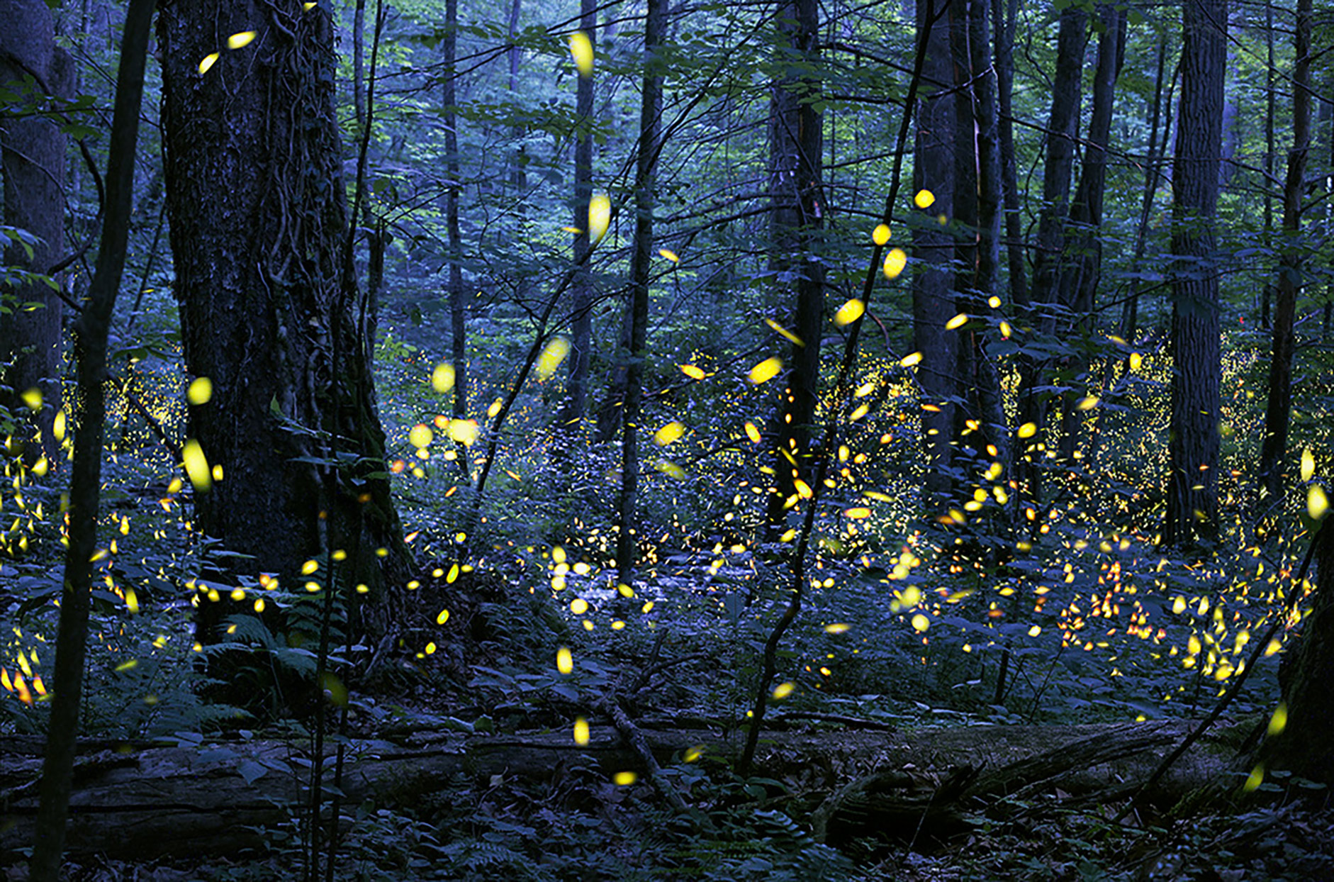 synchronous fireflies at night in great smoky mountains national park