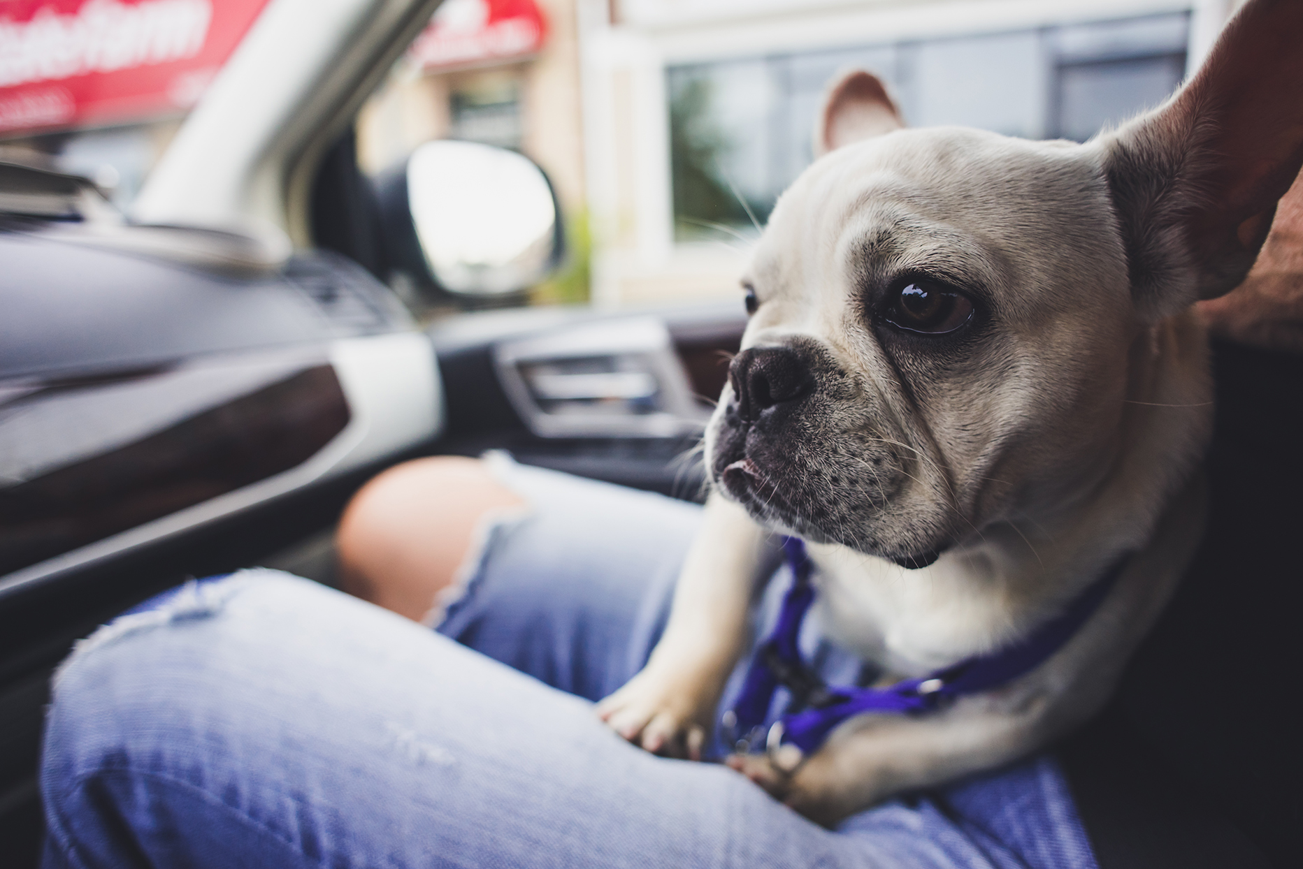 dog on lap of person inside car