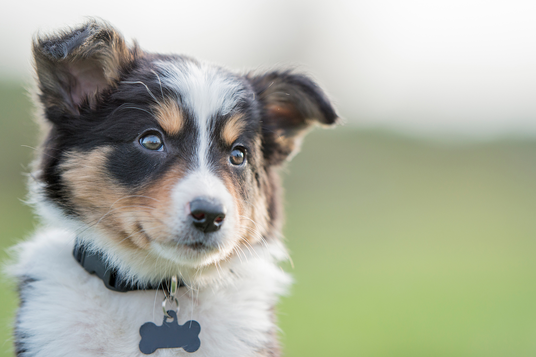 border collie puppy outdoors