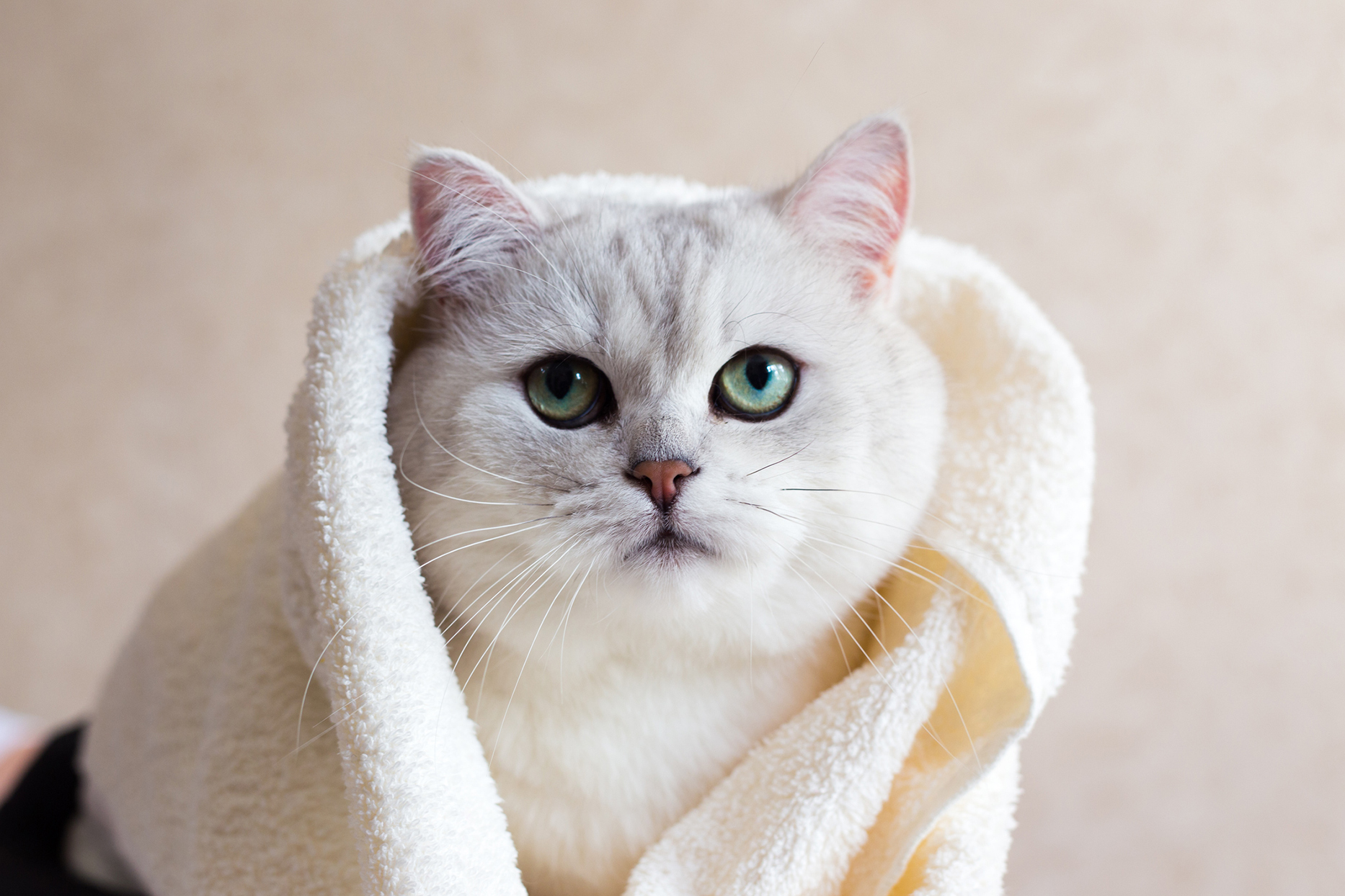 cat wrapped in bath towel