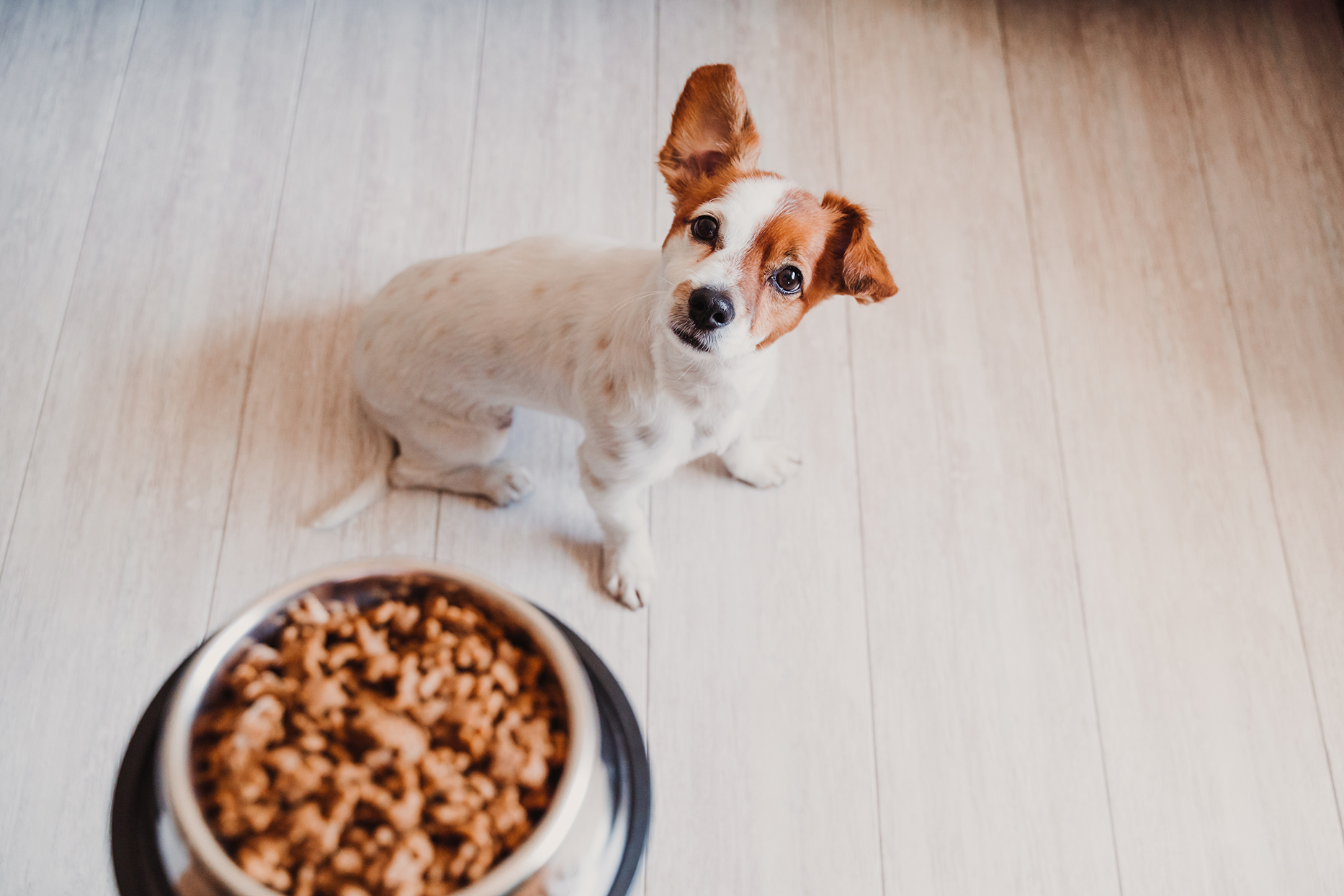 eager dog about to eat sustainable pet food