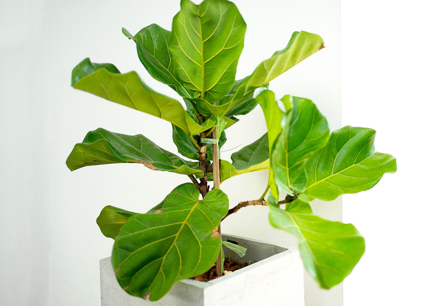 fiddle leaf fig plant in concrete planter in nicely lit home