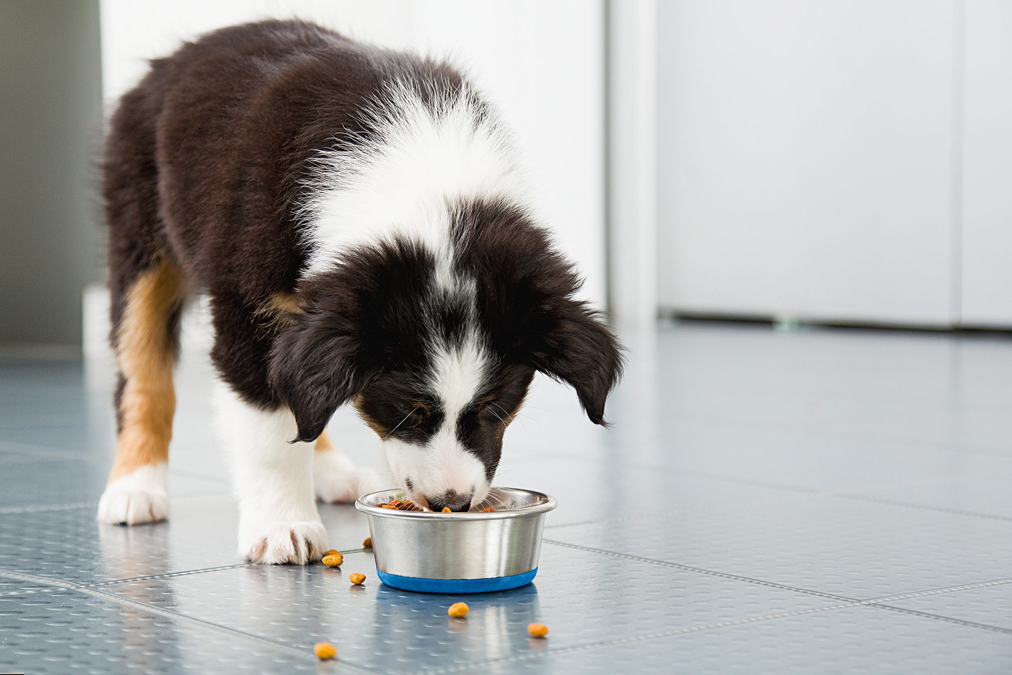 border collie puppy eating dog food from a bowl
