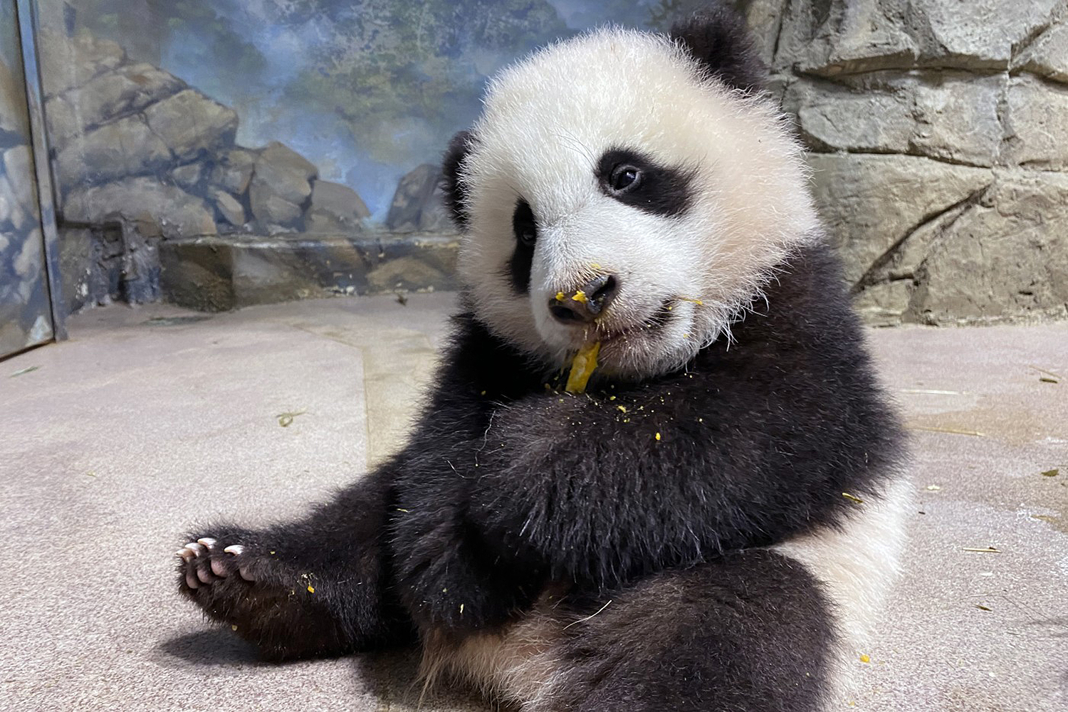 Five-month-old giant panda cub Xiao Qi Ji