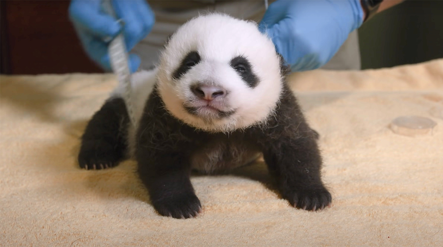 panda measured