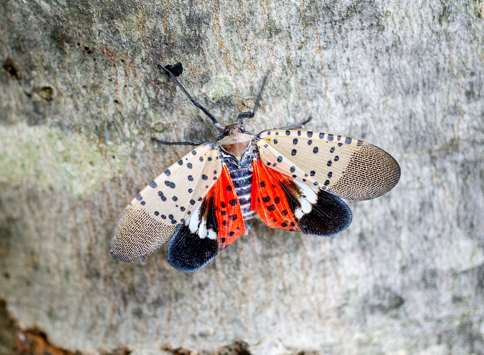 spotted lanternfly on maple tree