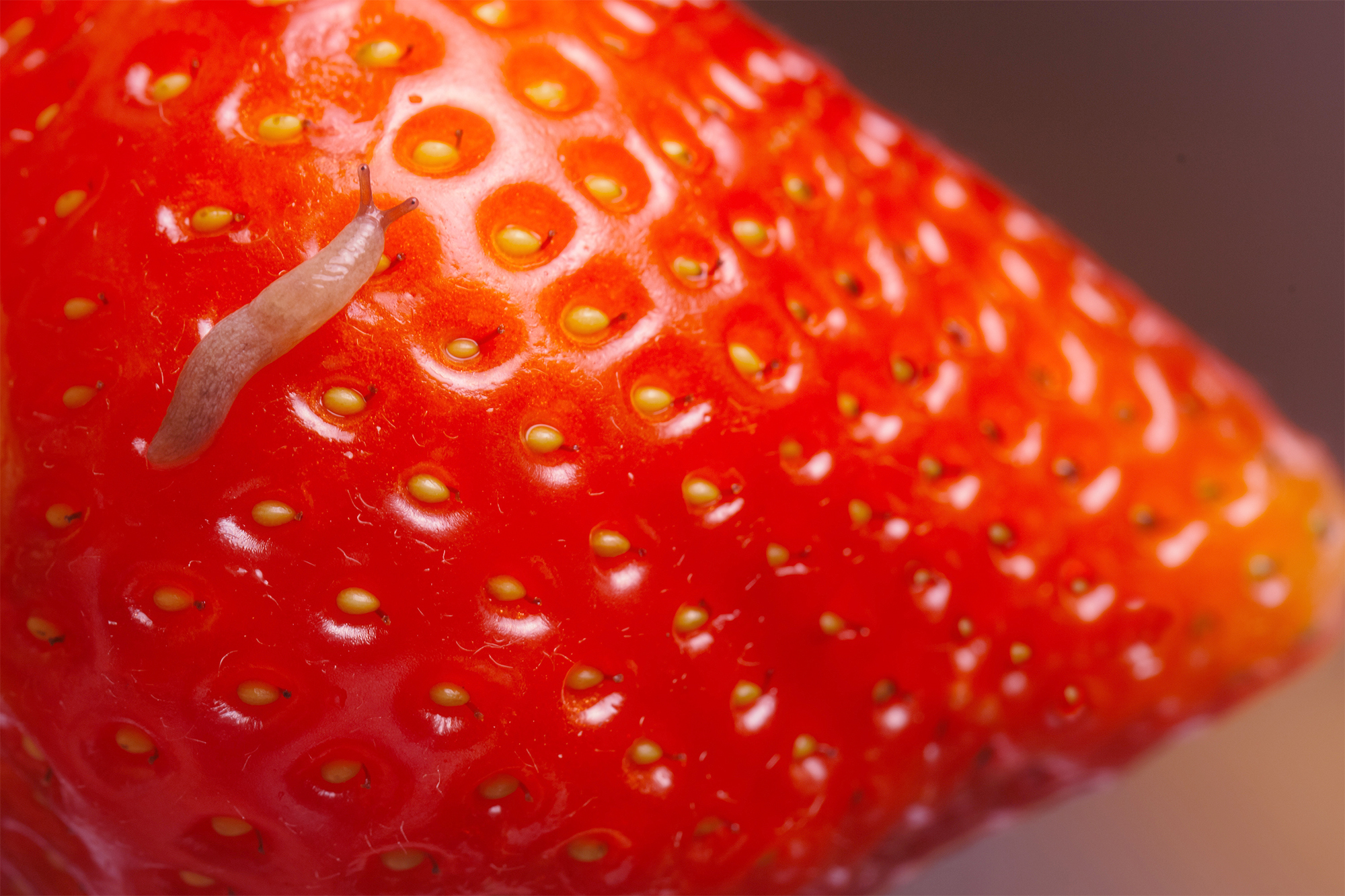 Strawberry with worm