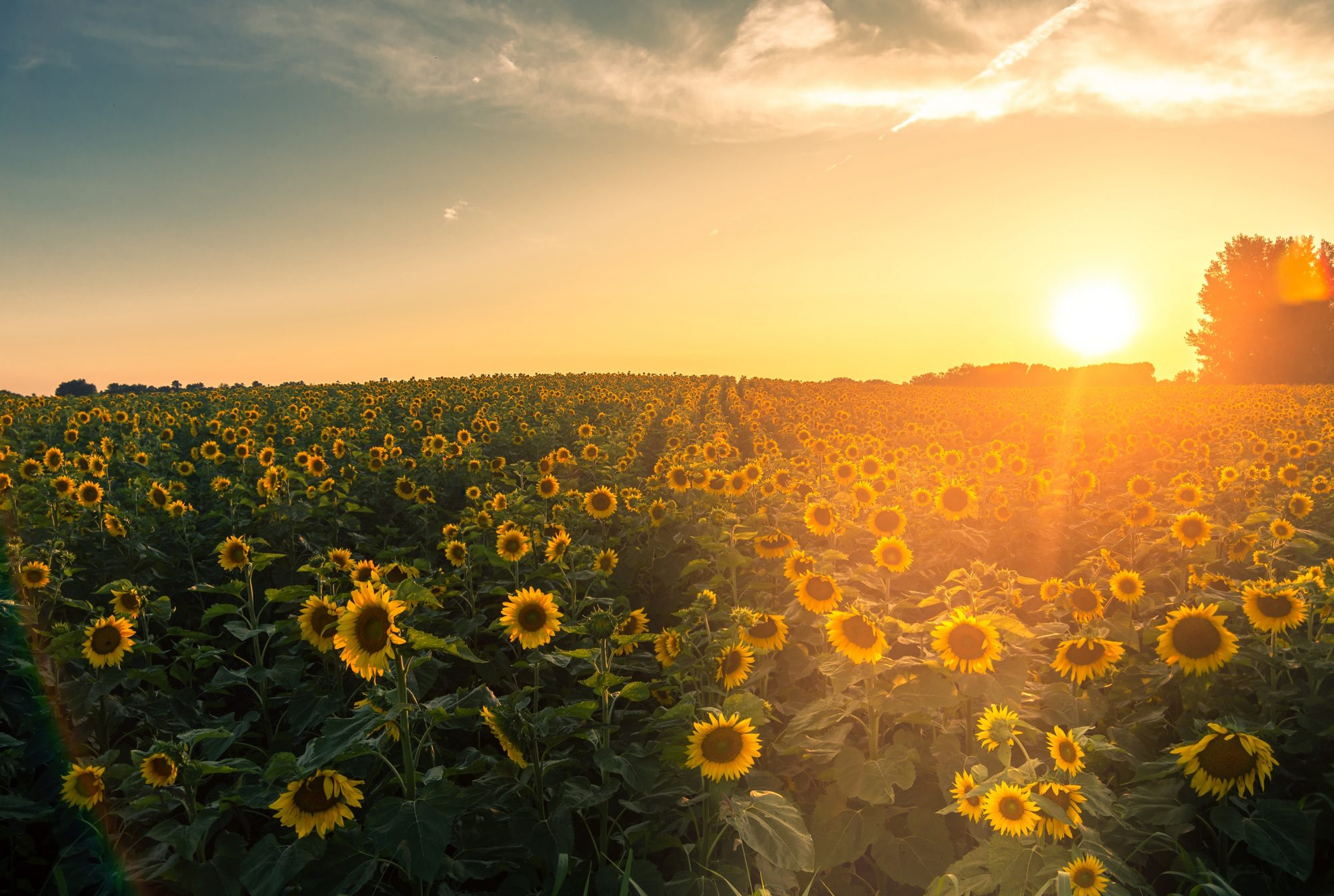 Sunflower Fields Around the Country