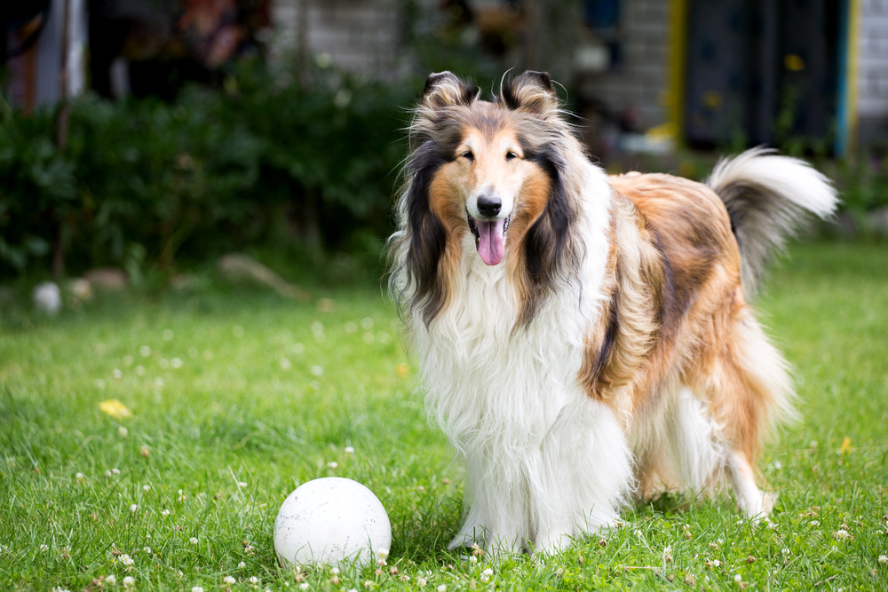 collie with ball