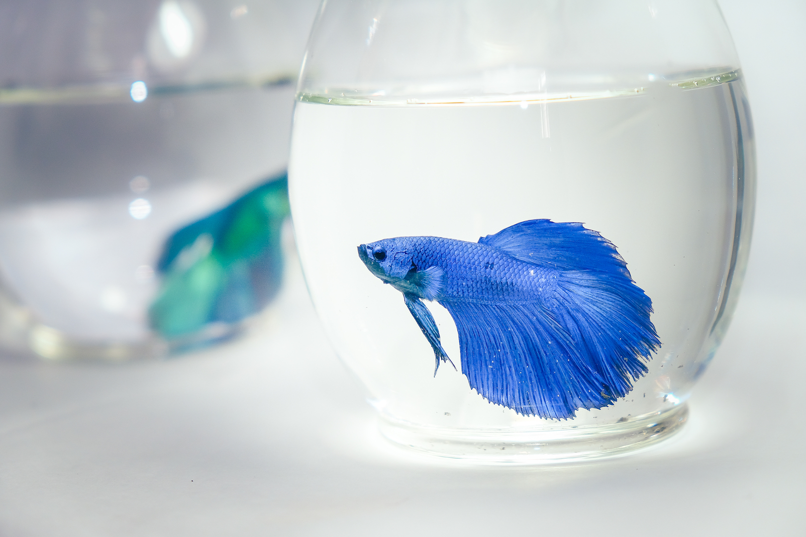Pet Betta Fish