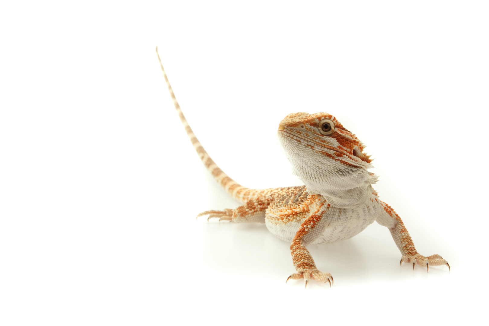 Pet-bearded-dragon.jpg
