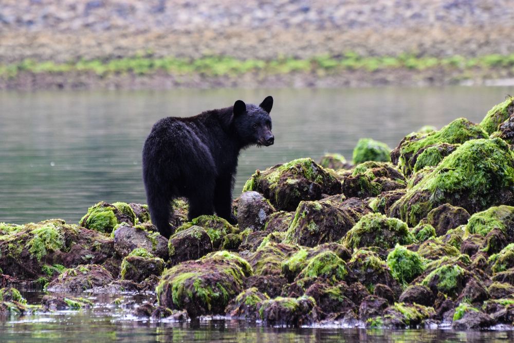 black bear in Clayoquot Sound, British Columbia