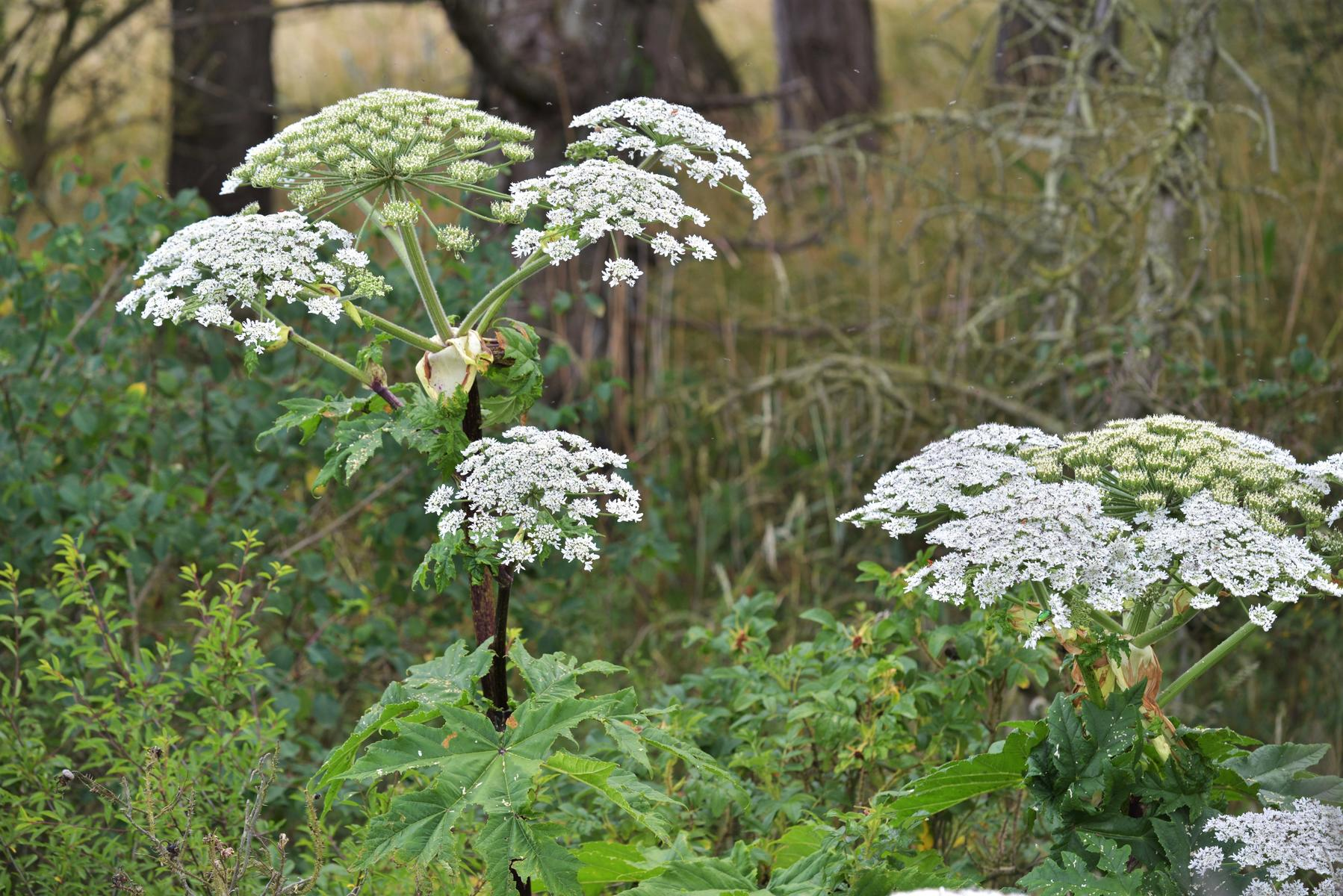 Giant Hogweed Heracleum Mantegazzianum Poisonous Plant