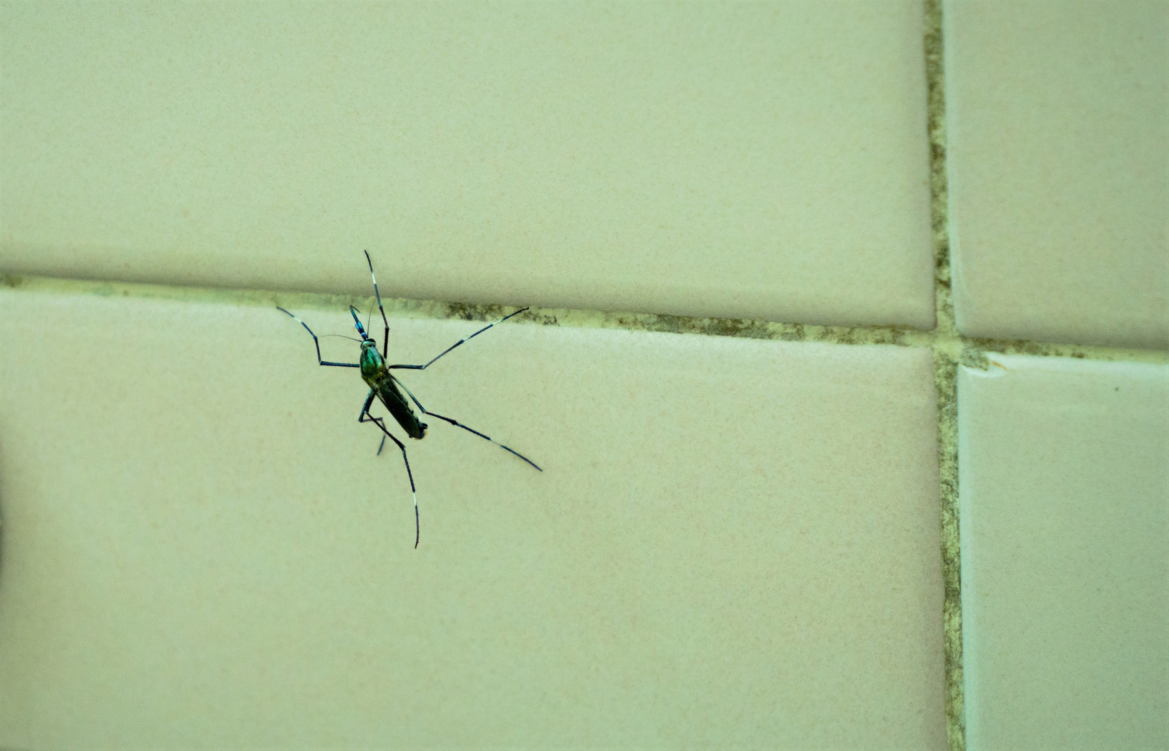 Giant Mosquito Gallinipper on Tile Wall