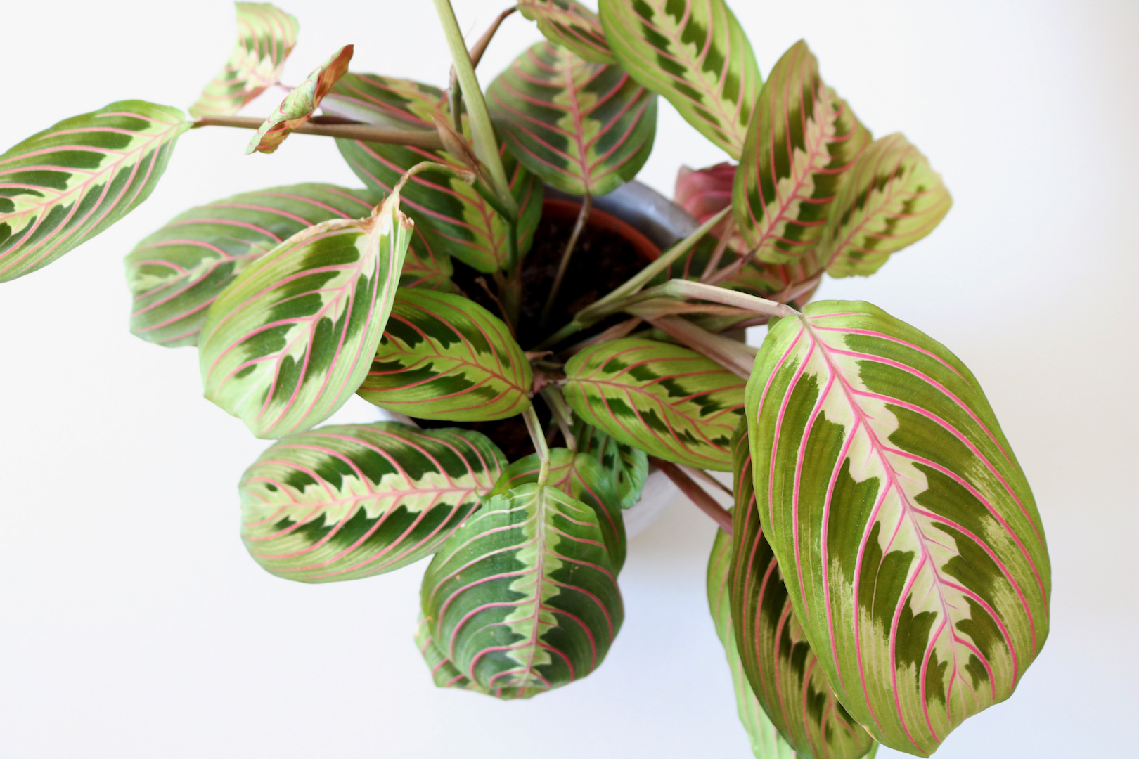 Prayer Plant Indoor Garden
