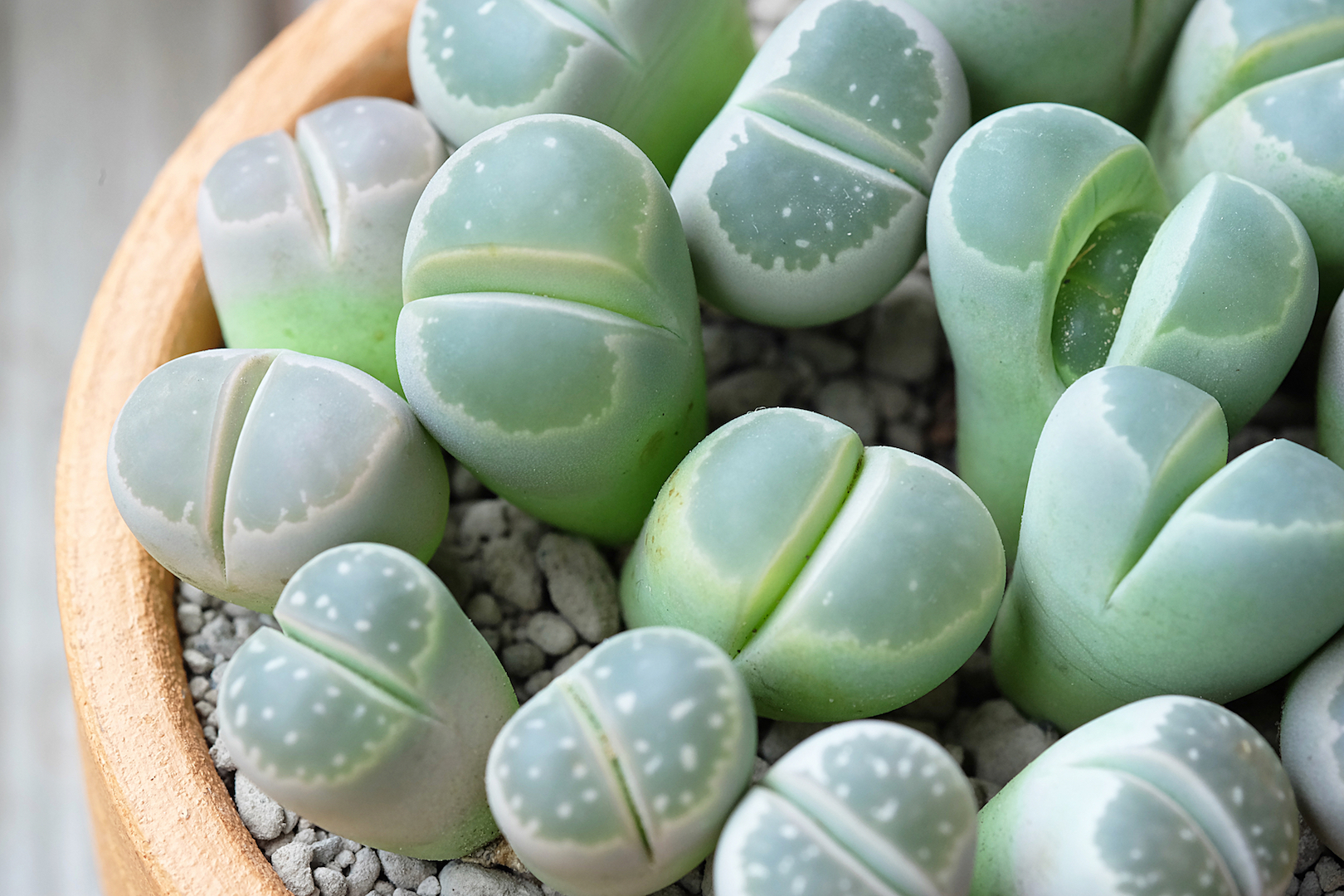 Lithops Indoor Plant