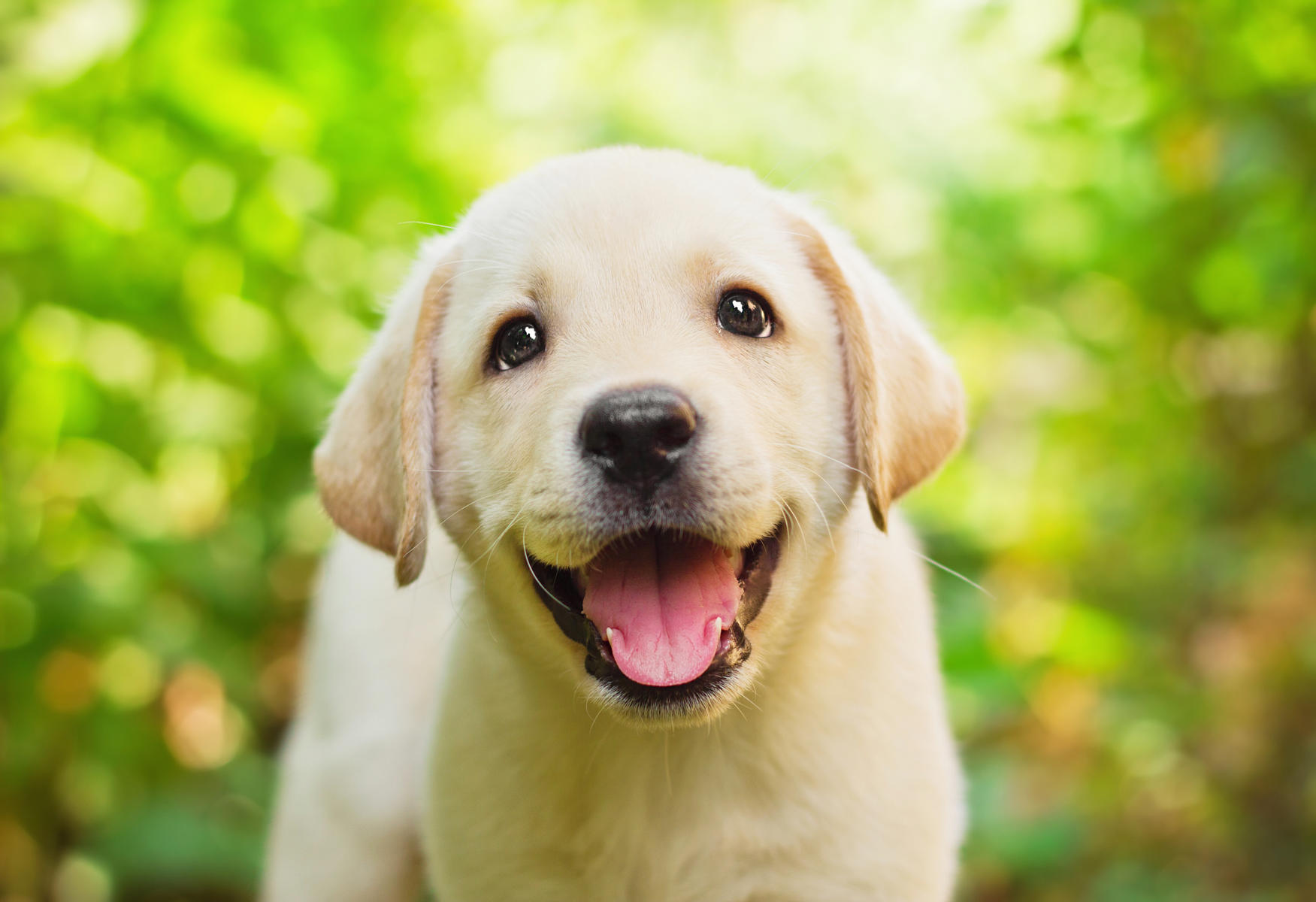 cute lab puppy in grass