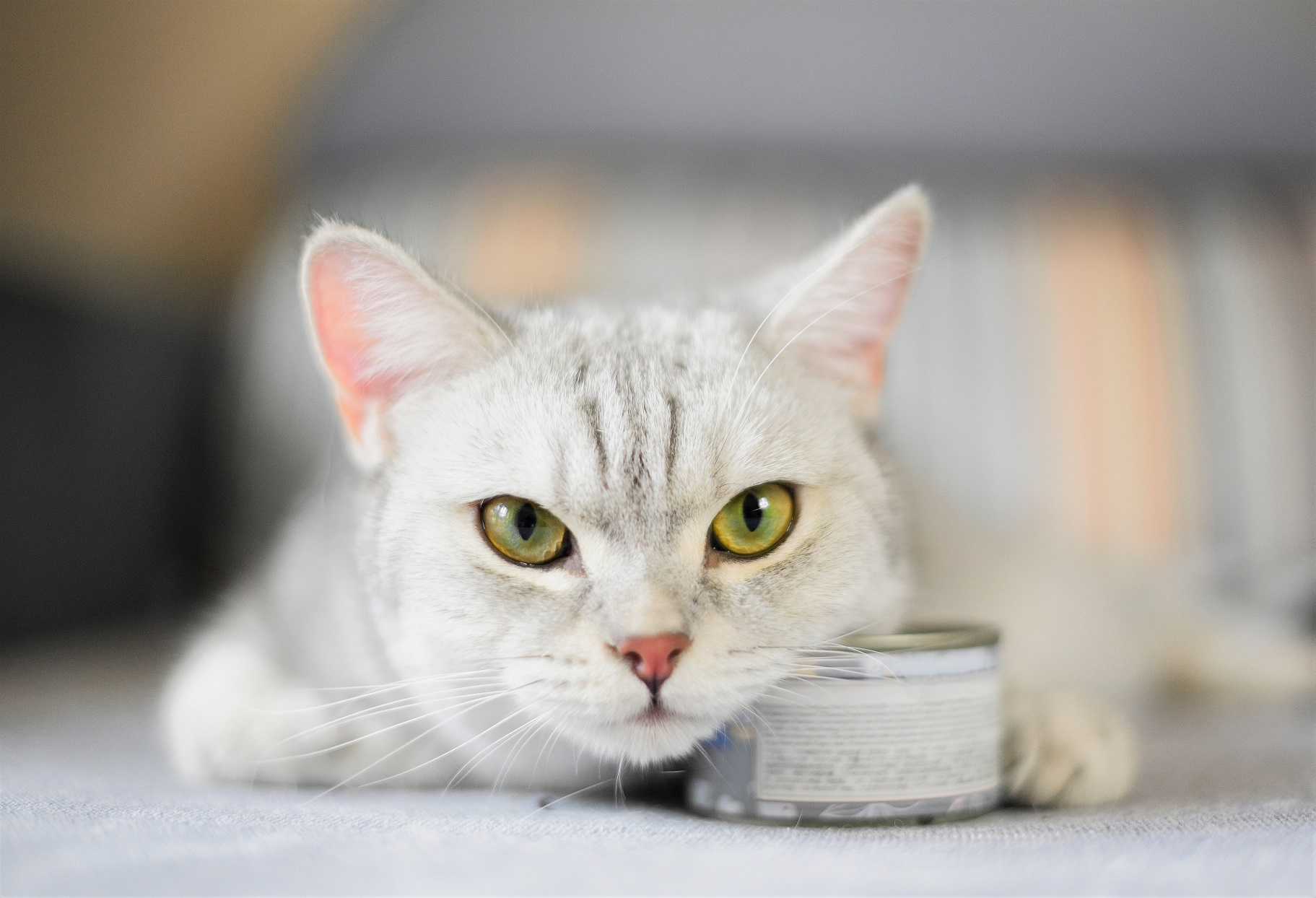 Cat Resting Head on Can of Food