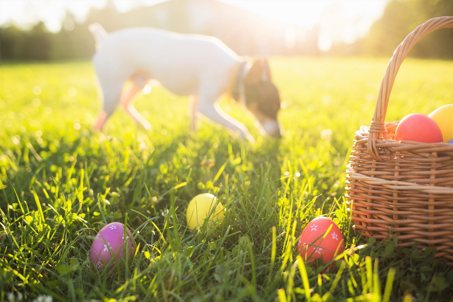Easter Eggs on Grass and Basket with Dog Sniffing Grass