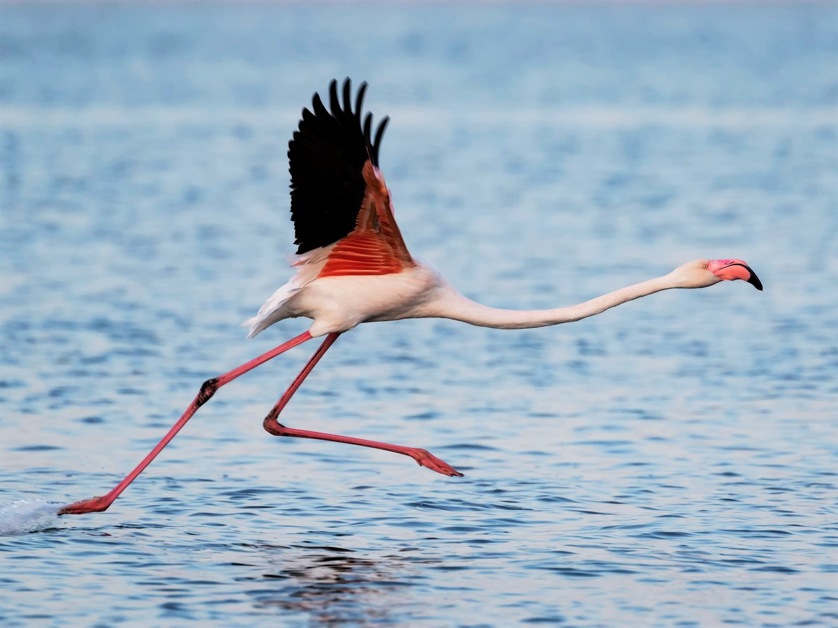 Escaped African Flamingo From Sedgwick County Zoo in Wichita Kansas