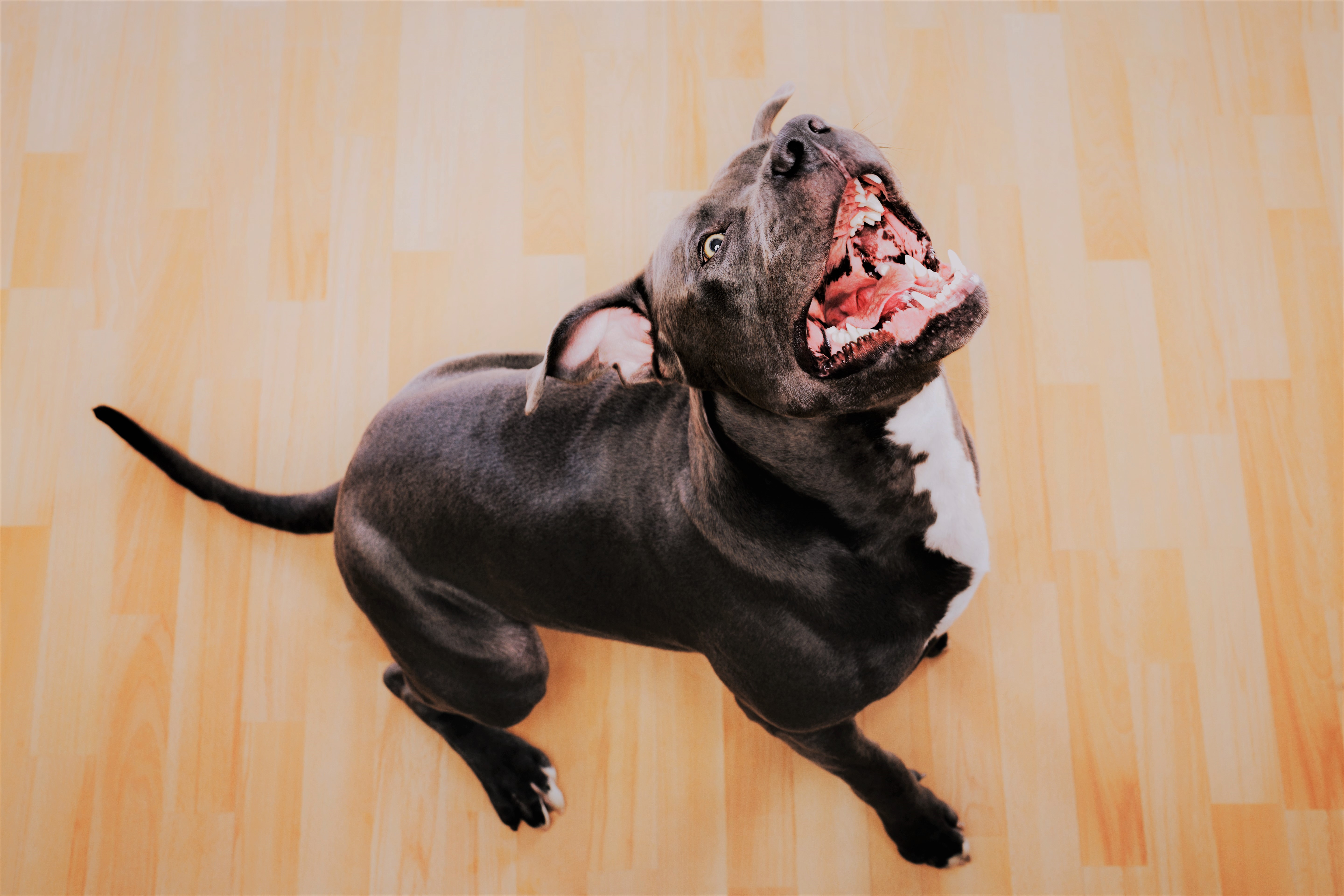 Black pit bull dog barking