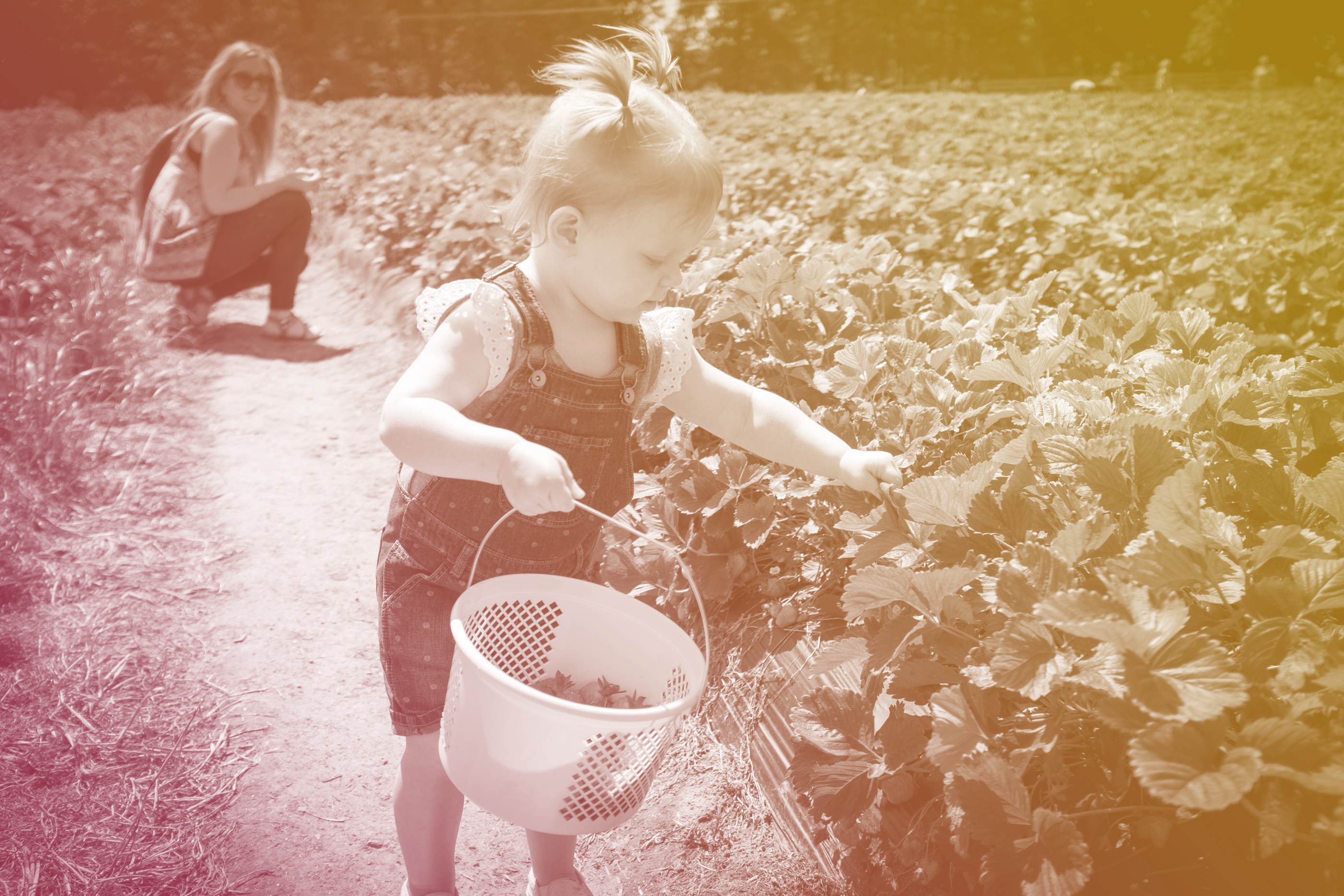 young toddler picking strawberries with mom