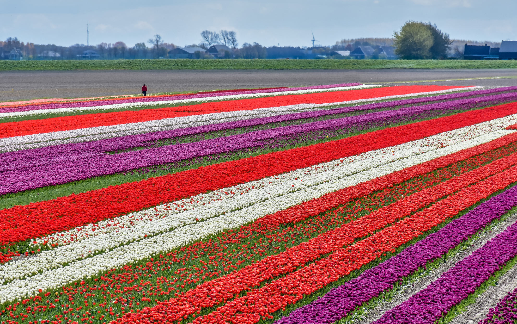 National Tulip Day Just Kicked Off the Growing Season in the Netherlands