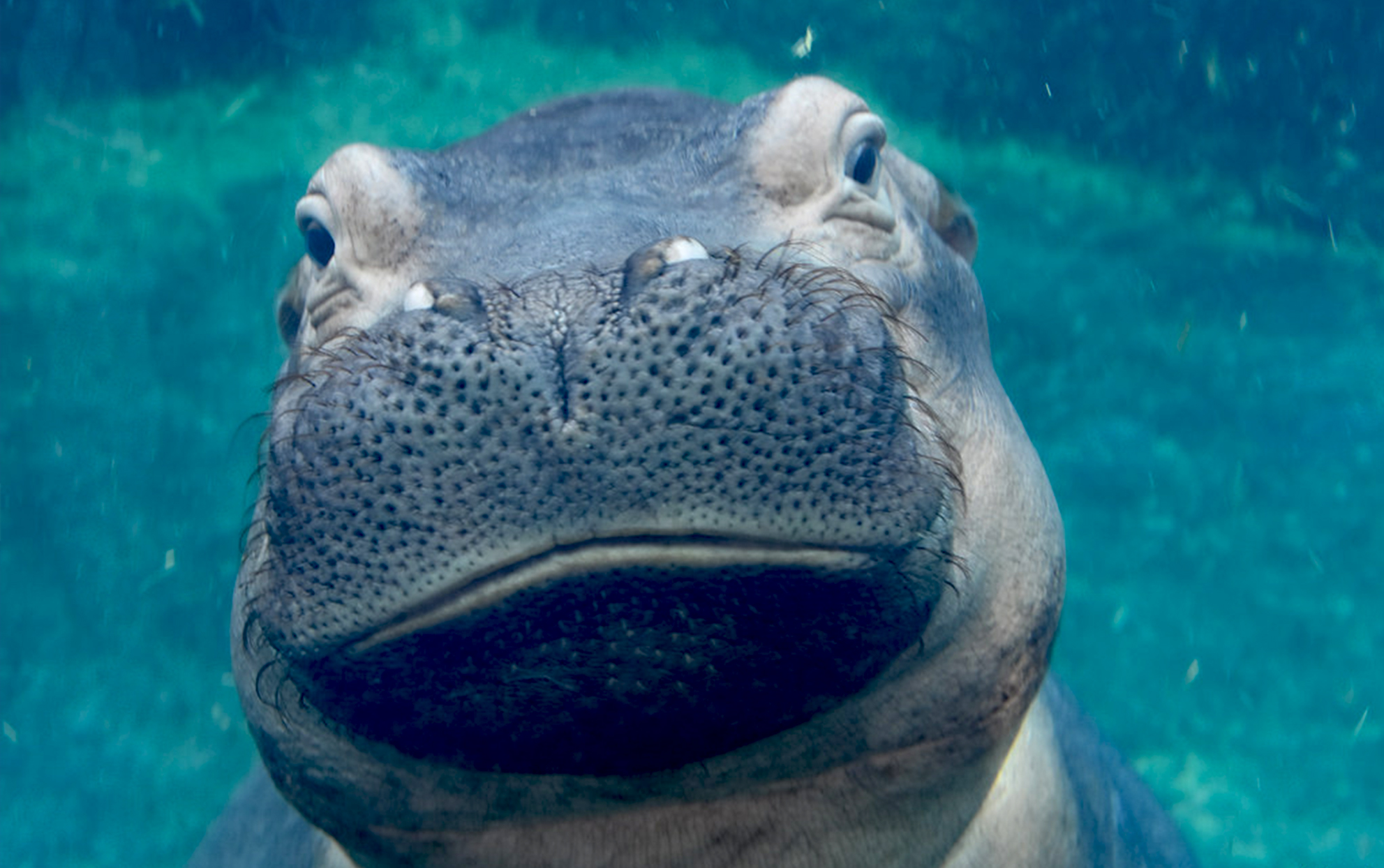 Fiona the hippo under water
