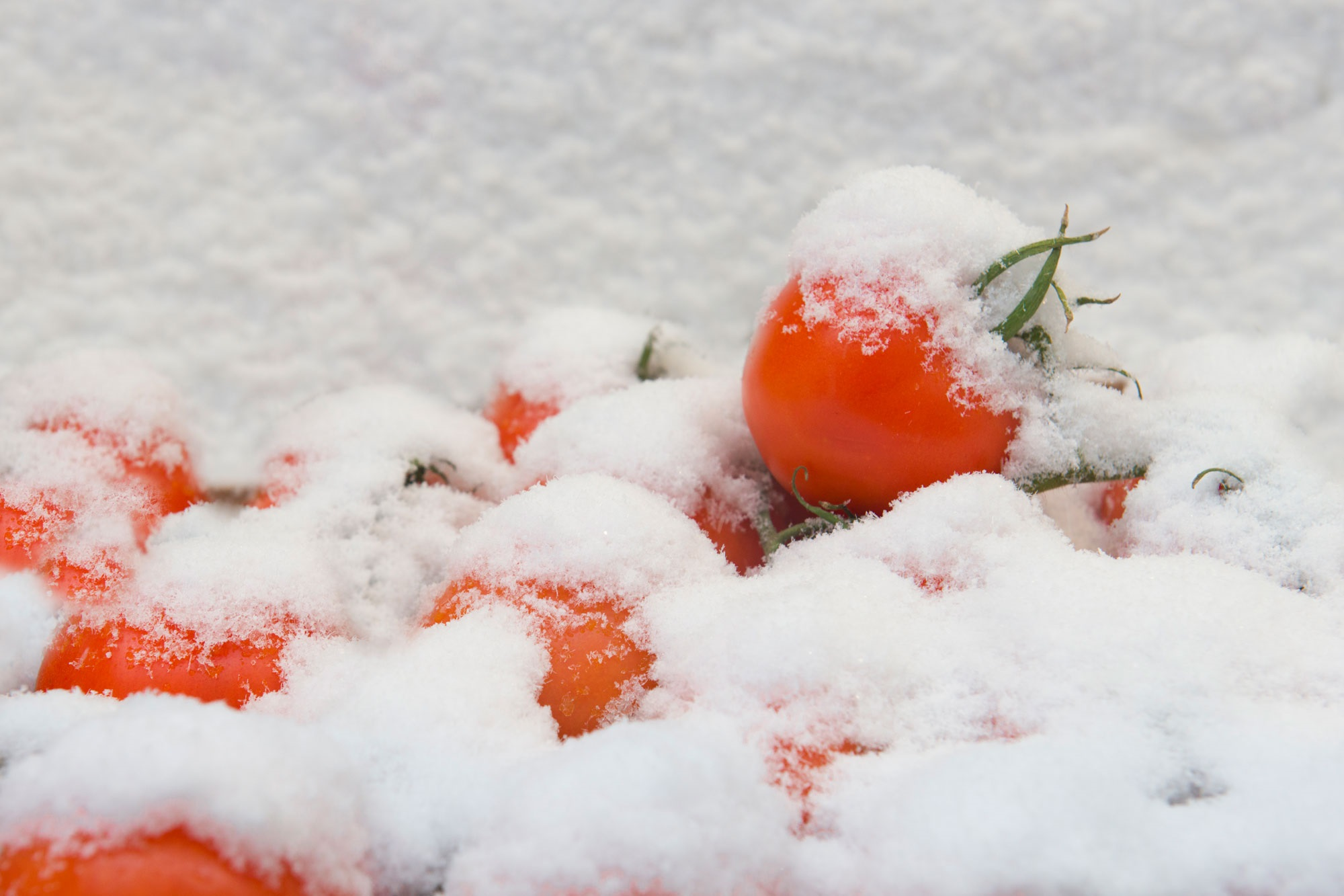 frozen tomatoes in snow