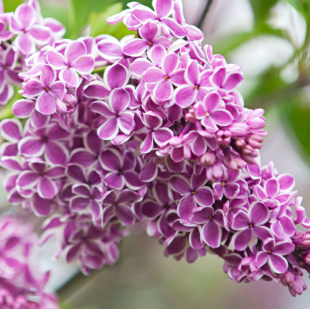 A lilac for everyone