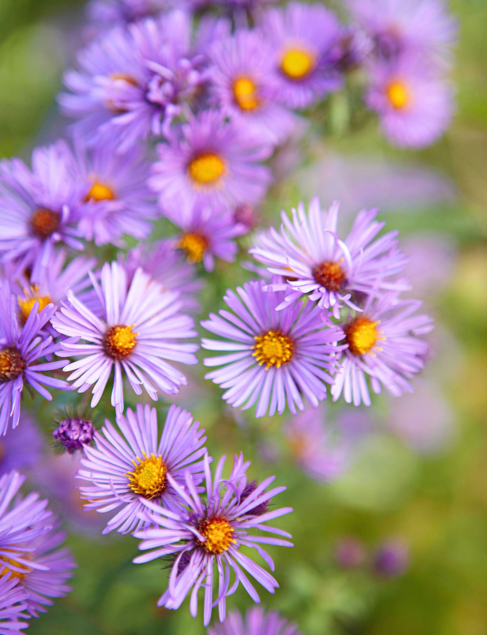 Aromatic aster