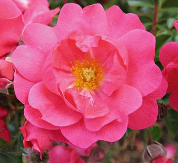 Planting on a slope: 'Flower Carpet' rose