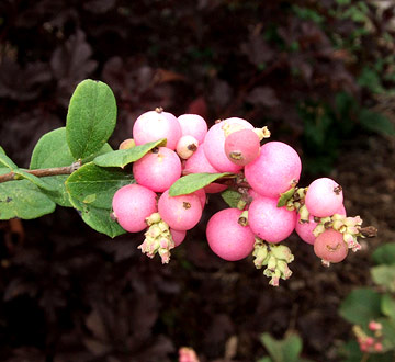 Planting on a slope: snowberry