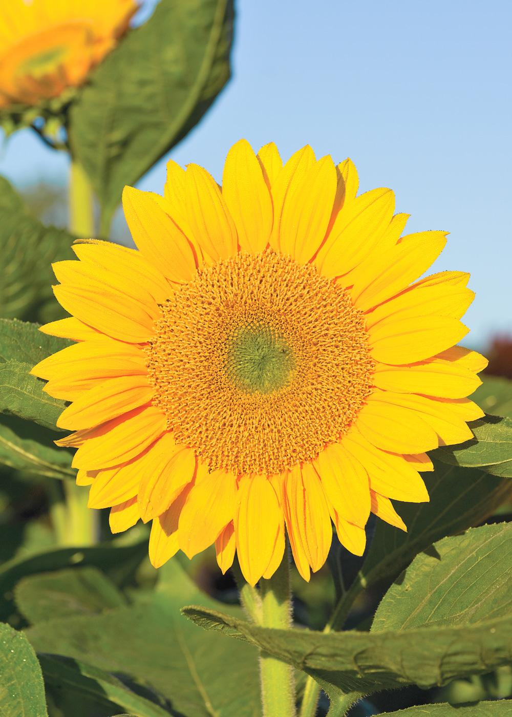 A sunflower for every garden