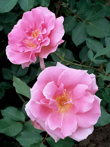 The best easy-care roses