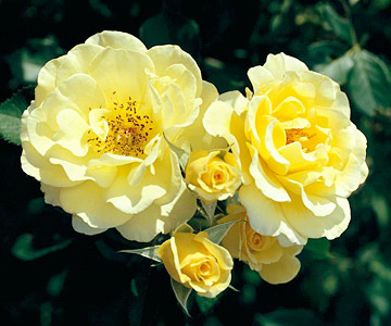 Tips for starting shrub roses