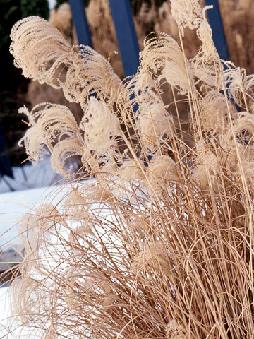 Plant ornamental grasses