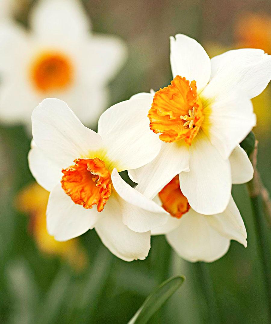 Daffodil growing tips