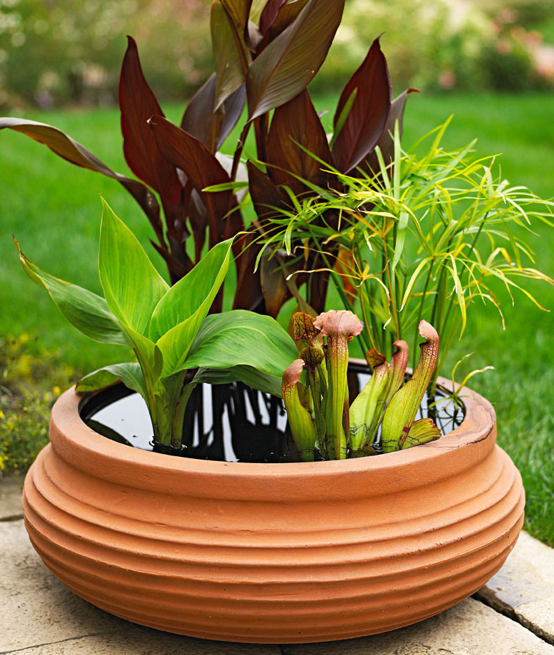 This glazed terra-cotta pot sprouts a garden of two colors of hardy water canna, dwarf papyrus and tropical pitcher plant.