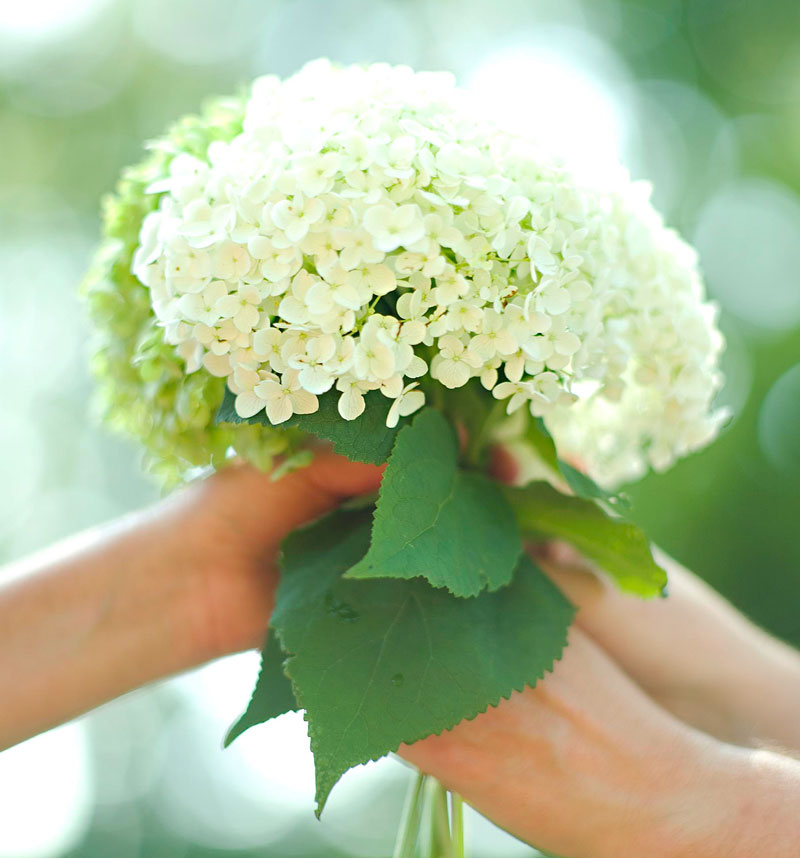 Smooth hydrangeas: What you need to know