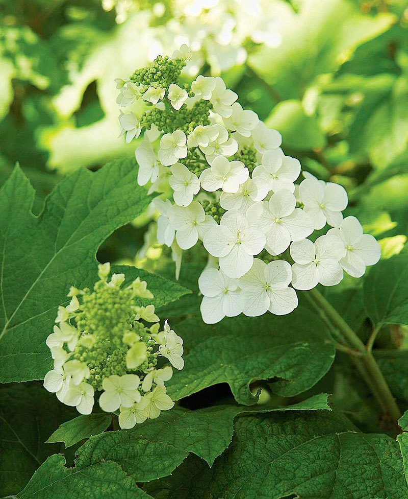 Oakleaf hydrangeas: What you need to know