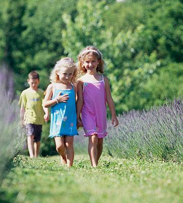 Fragrant lavender farms