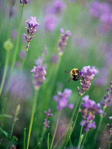 Lavender sources