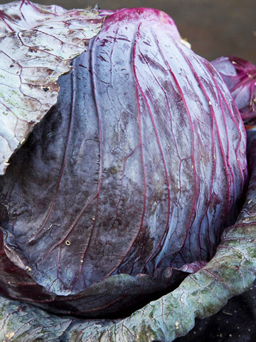 Old favorites sampler: 'Mammoth Red Rock' Cabbage