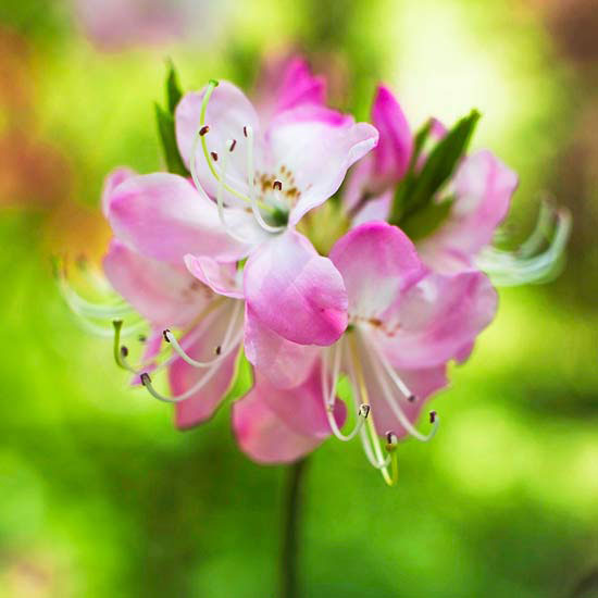 Woodland spring sampler: Pinkshell Azalea