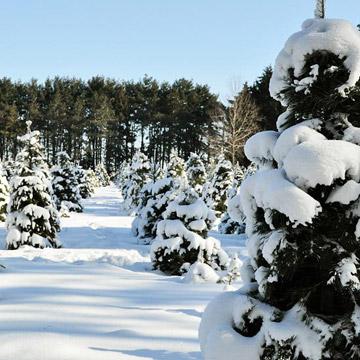 Miller's Christmas Trees