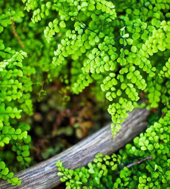 Woodland spring sampler: Himalayan Maidenhair Fern