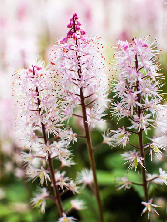 Woodland spring sampler: Foam Flower