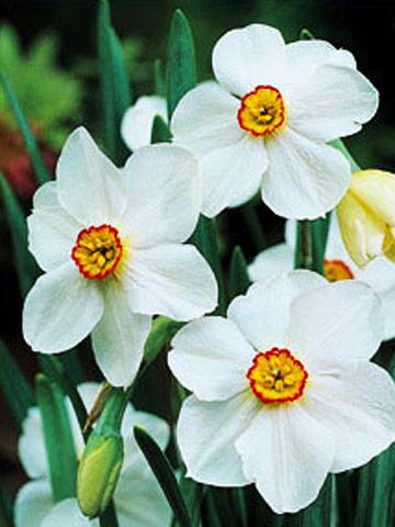 Top daffodils