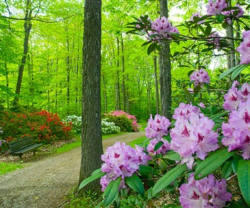 Good rhododendrons for the Midwest